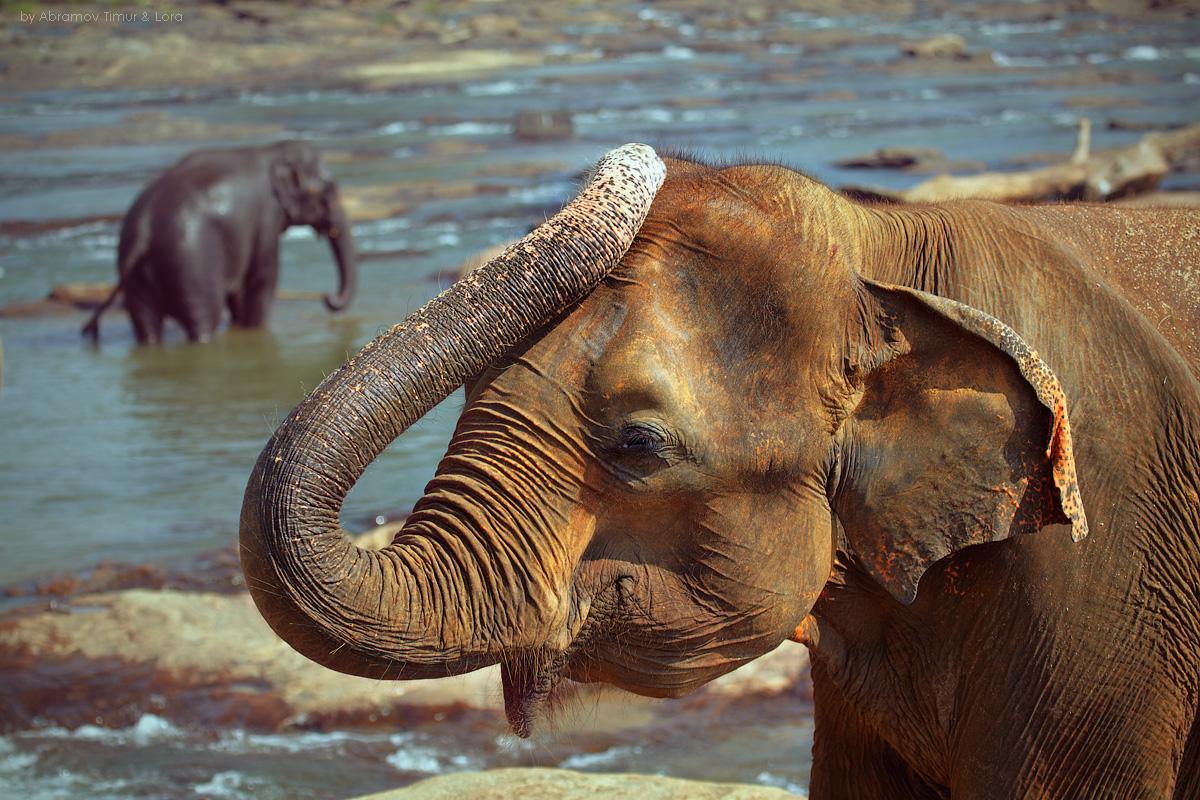 картинка слон купается